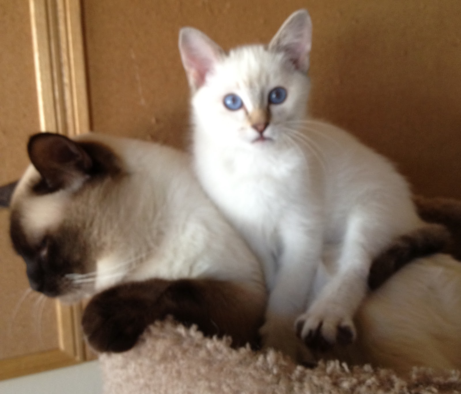 Chocolate Lynx Point Male Kitten Available | Baliwest