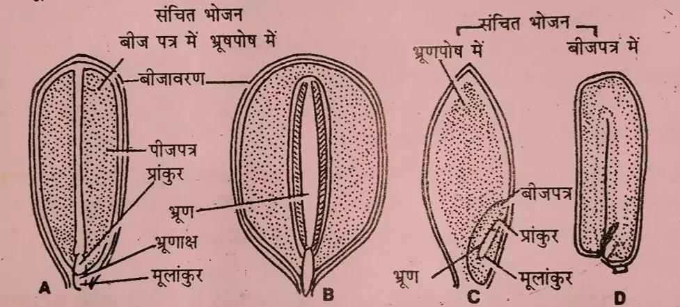 बहुभ्रूणता ( Polyembryony in Hindi )