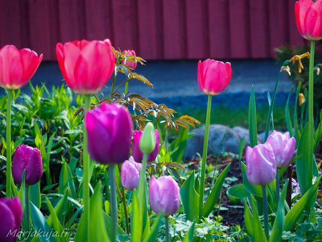 perenna tulppaani kukka piha puutarha perennapenkki kukkapenkki kevät