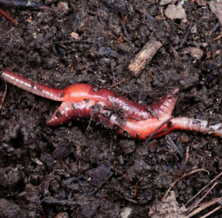 amazing worm hermaprodit