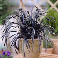 "A OPHIOPOGON PLANISCAPUS ""NIGRESCENS"" – aka Black Mondo Grass plant in a beige pot. There are berries on it."