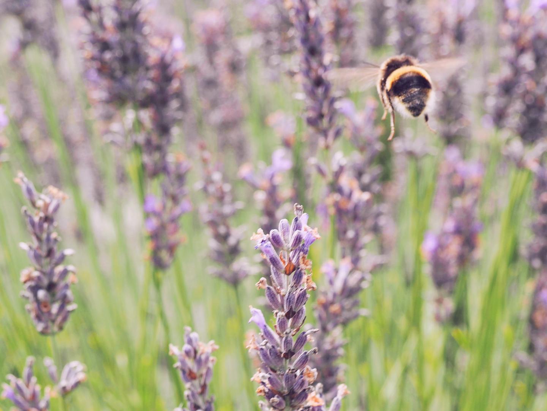 na wakacjach w Wexford Lavender Farm