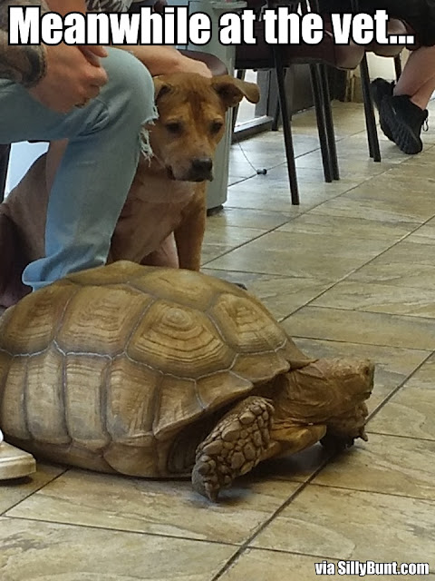 At the vet a dog stares at an African Spurred Tortoise
