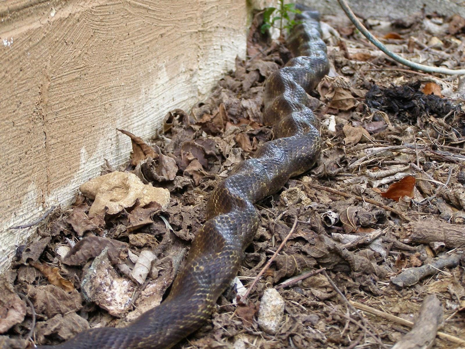 blue jay barrens black rat snakes