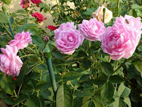 Cara Menyetek Bunga Mawar yang Baik dan Benar Untuk Pemula