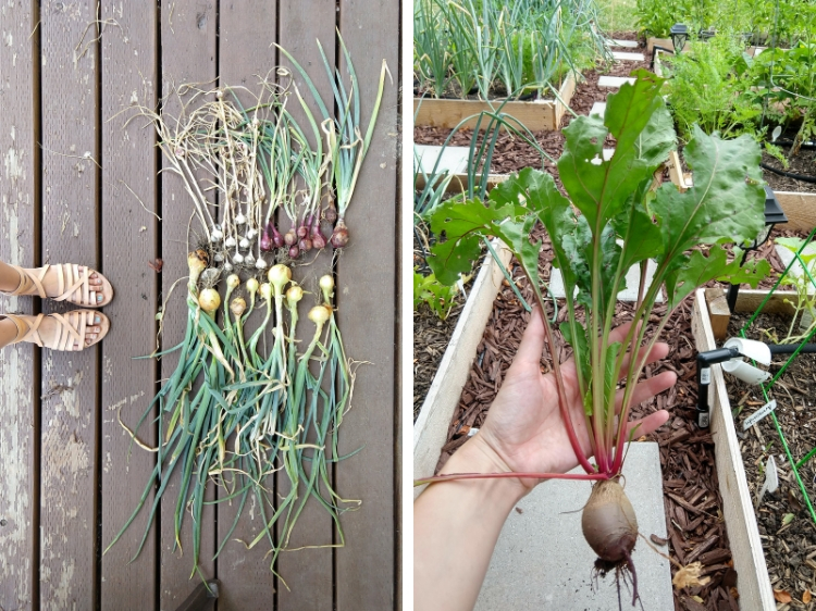 Onions and Garlic curing and the first beet // Garden Update July 2019 // www.thejoyblog.net