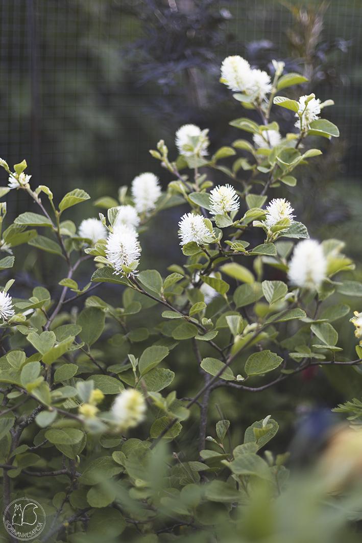 höyhenpensas Fothergilla major kukka oravankesäpesä