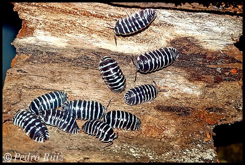 Grupo de adultos de Armadillidium maculatum