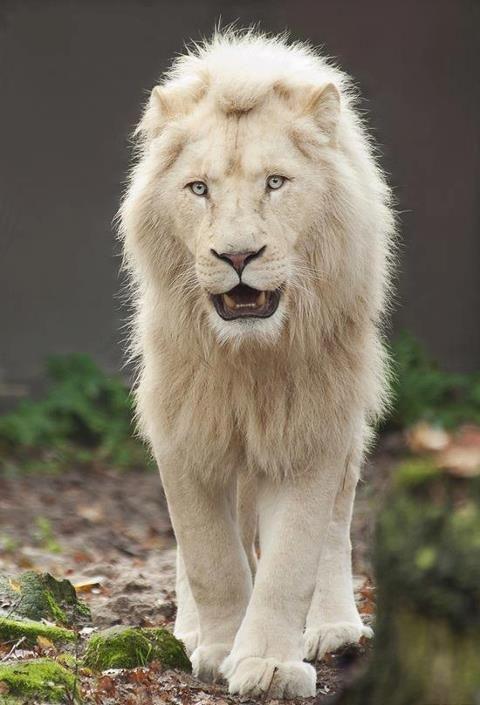 Lion | A-Z List of 125 Rare Albino Animals [Pics]