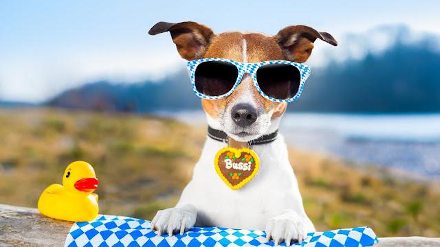 cachorro com oculos escuro e um brinquedo de patinho amarelo