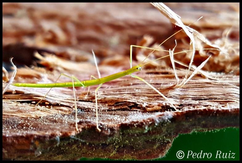 """Ninfa L2 de Candovia evoneobertii """"Paulinia"""", 1,9 cm de longitud"""