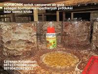 Cara Budidaya Semut Kroto Media Toples