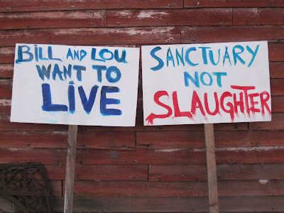 Bill and Lou want to live | Sanctuary not slaughter