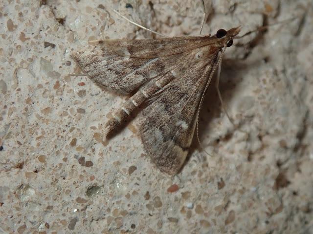 Dolicharthria punctalis