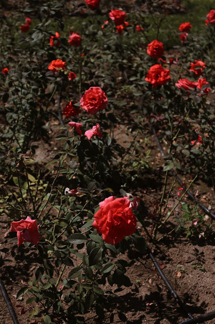 Park róż Bułgaria