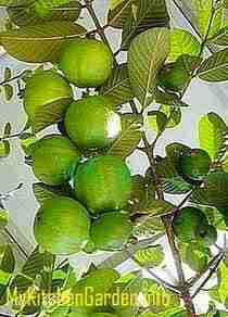 Fruits Growing on a Guava Tree