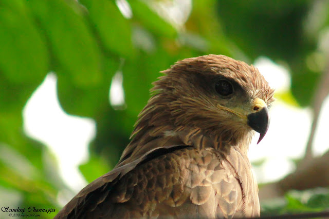 Black Kite up close
