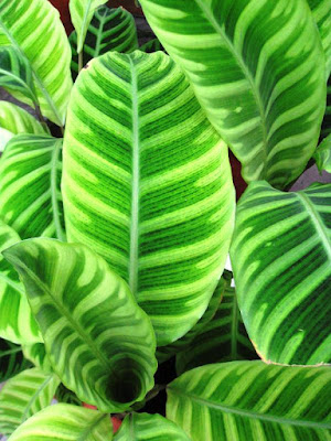 Close up of striped leaves