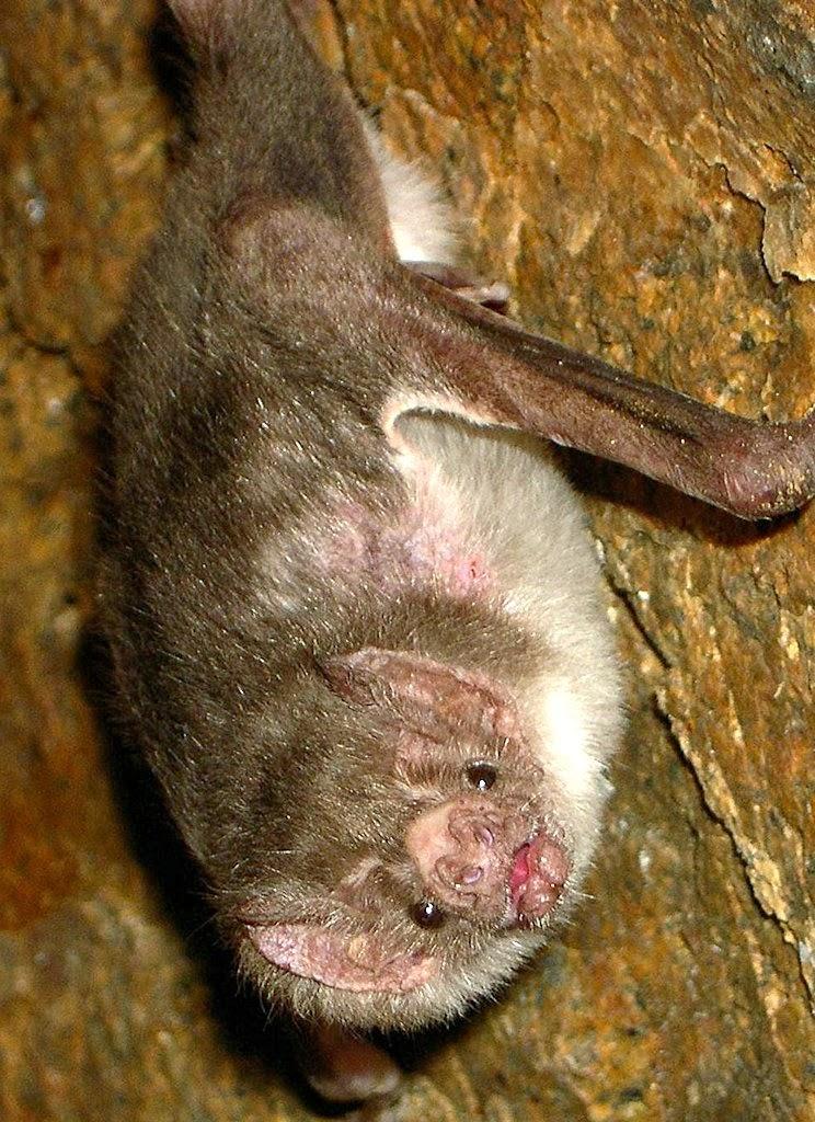 Morcego hematófago Desmodus rotundus rotundus, no Brasil:  Amazonas, Pará, Bahia, Minas Gerais, São Paulo, Santa Catarina, Rio Grande do Sul