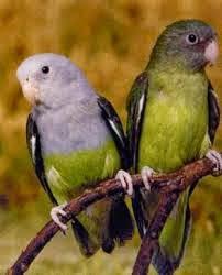 madagaskar lovebird