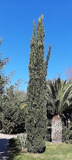 Gli affusolati Cipressi di Terramaini