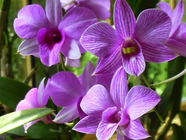 bunga anggrek larat