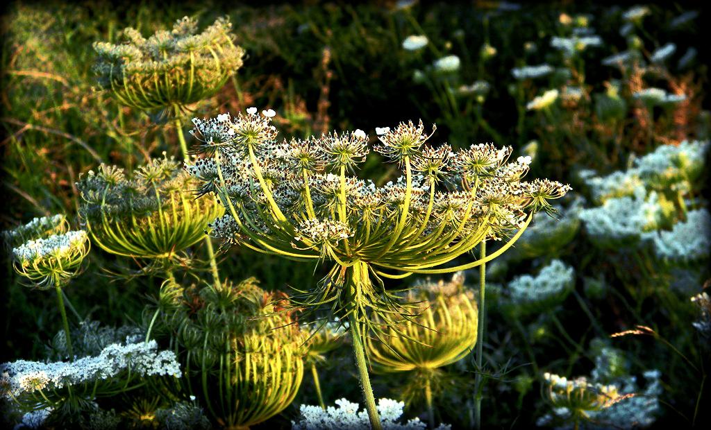 wild flower daucus