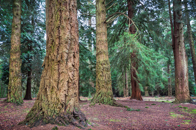 Trunks of giant trees in the New Forest National Park in Hampshire