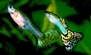 Ikan hias air tawar guppy