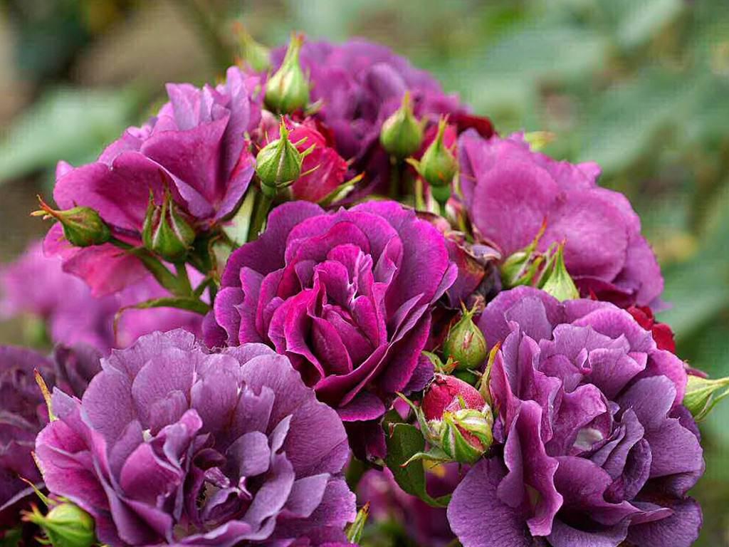 Purple Rose Wallpapers  Purple