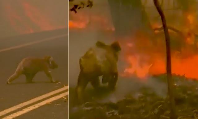 Cientos de animales mueren tratando escapando de incendios en Australia