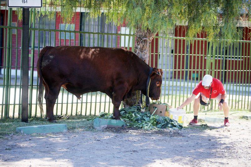 La historia de Toing, el toro díscolo que deambuló por la Alameda