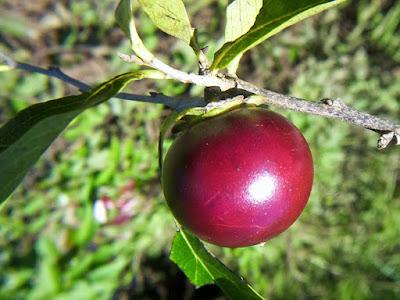 fruto de granadillo