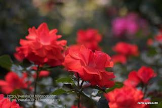 咲き揃う赤い薔薇の写真