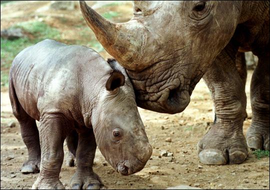 Javan Rhinoceros Animal Wildlife