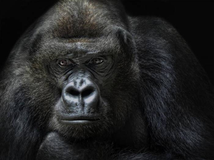 In Minnesota, in the USA, gorillas can travel in a car, but only in the passenger seat next to the driver, if the animal is sitting in the back seat, the driver will be fined.