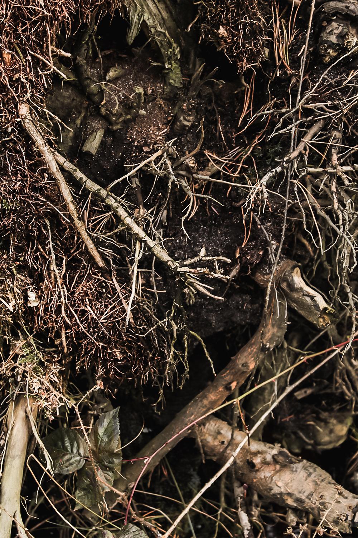 las, korzenie