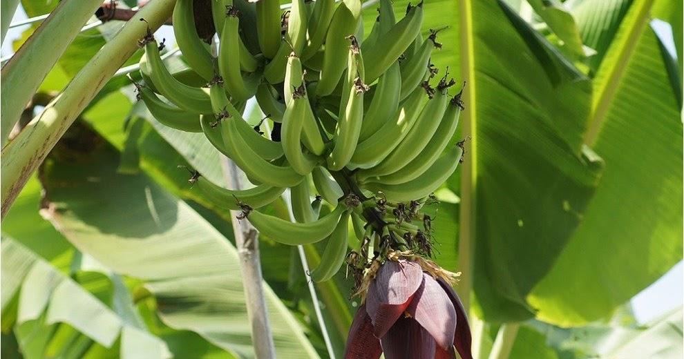 Musa paradisiaca - the leaf herbal