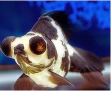 Jenis Ikan Koki blak moor panda