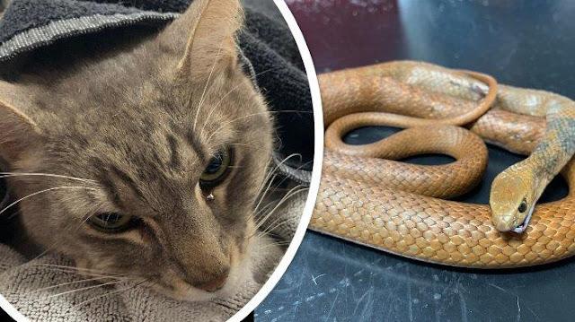 Kucing Peliharaan Mati setelah Lindungi Anak Pemilik Rumah dari Gigitan Ular Berbisa