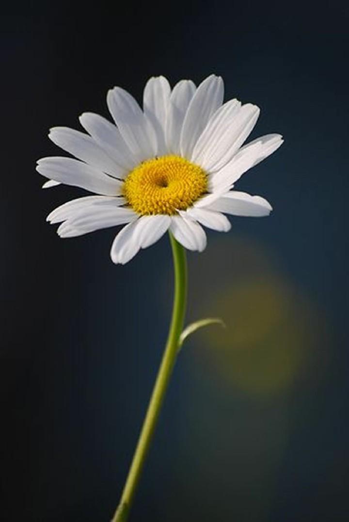 Hinh nen hoa cuc dep%2B%25282%2529