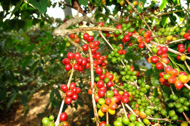 Kebun Kopi Jolong, Pati Jawa Tengah