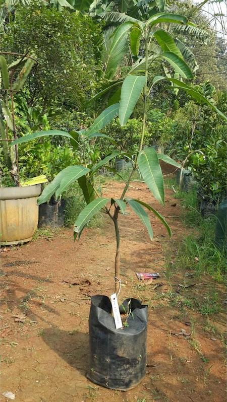 Bibit Mangga Red Ivori Bisa Cod Kalimantan Timur