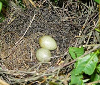 Garrulus glandarius - nest