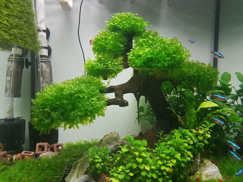 Rêu thủy sinh Pelia buộc bon sai của bạn Trang Hồ