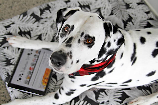 Dalmatian on a dog bed with an iPad