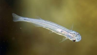 Gambar Ikan Candiru
