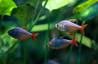 Colombian Jenis Ikan Tetra Terpopuler
