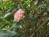 Pink flower cluster - Ho'omaluhia Botanical Garden, Kaneohe, HI