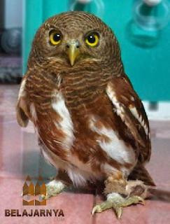 Burung Hantu Javan Owlet